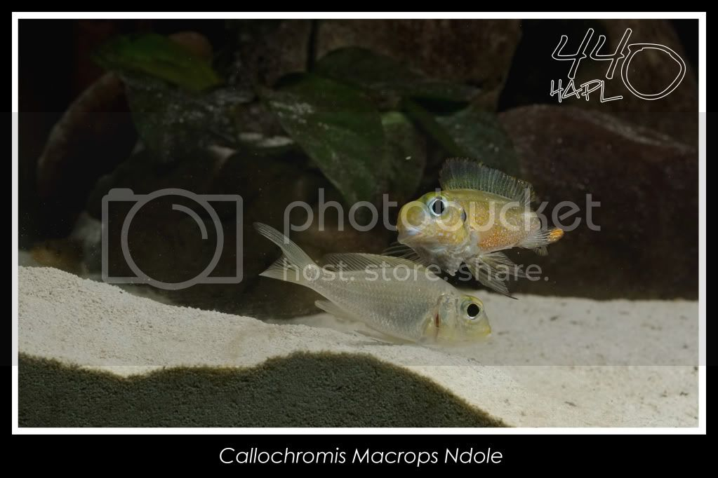 720l Eco Tanganika - Página 2 Callochromis14