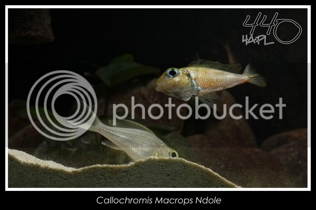 720l Eco Tanganika - Página 2 Callochromis15