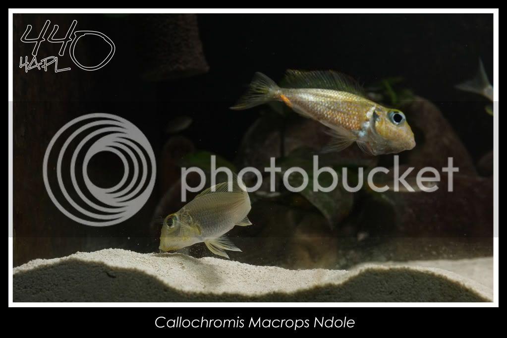 720l Eco Tanganika - Página 2 Callochromis2