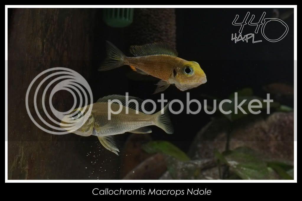 720l Eco Tanganika - Página 2 Callochromis3