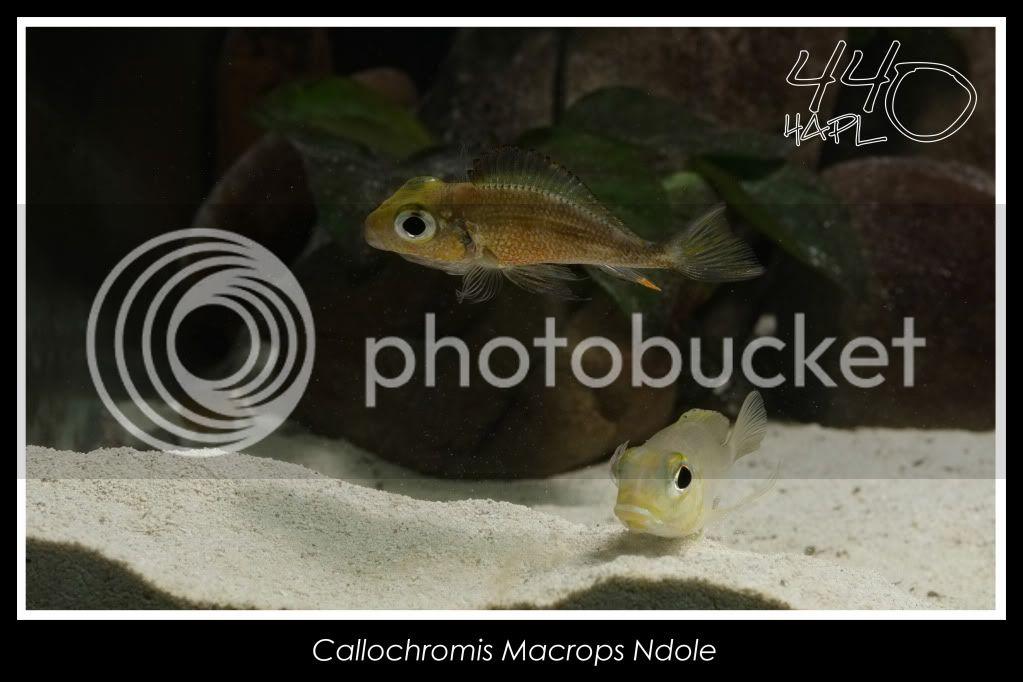 720l Eco Tanganika - Página 2 Callochromis9