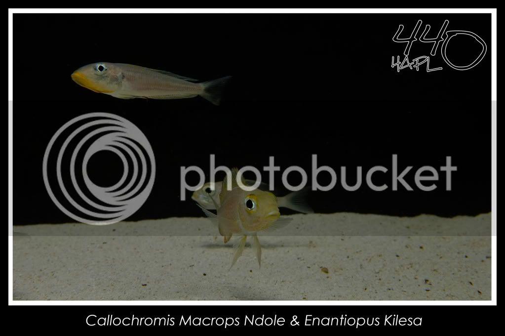 720l Eco Tanganika - Página 2 Enantiopusycallochromis