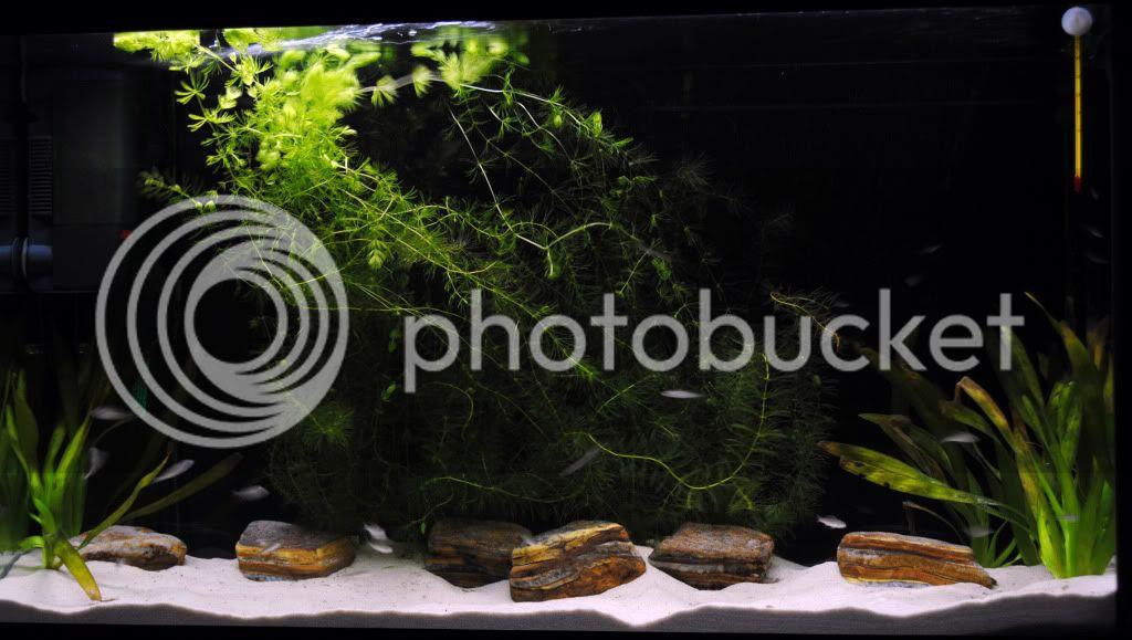 Acuario 300l desarrollo de Cyprichromis Leptosoma Utinta fluorescent 300lcypris