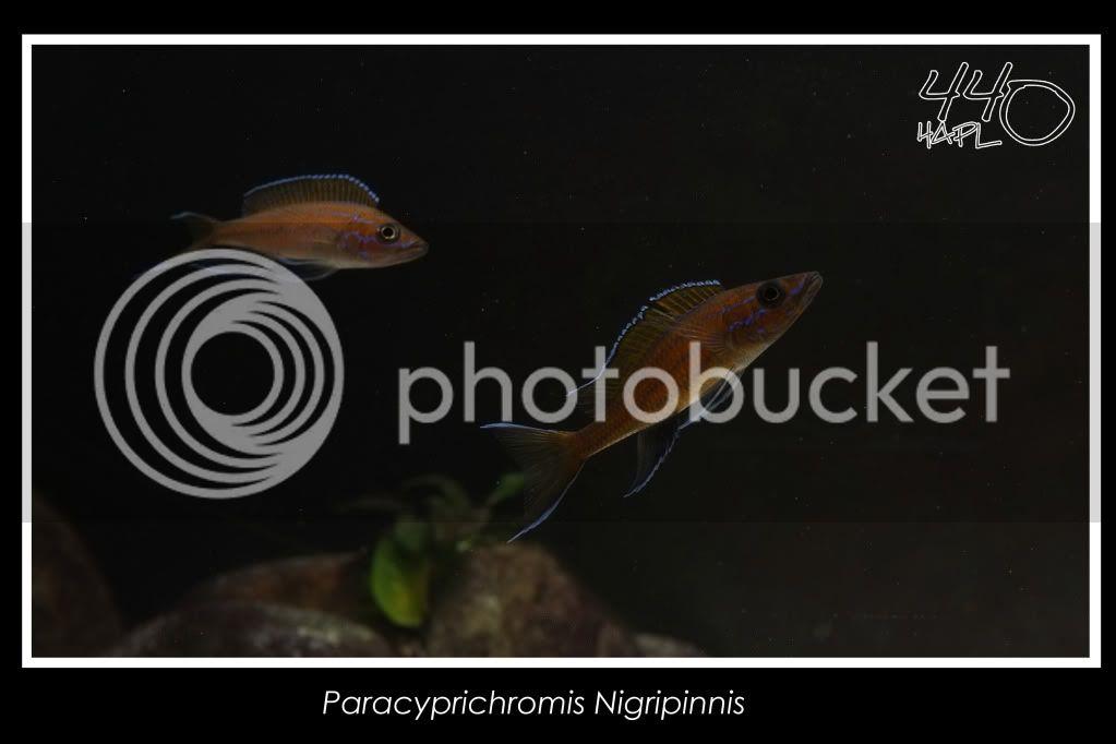 720l Eco Tanganika - Página 2 Paracypri4