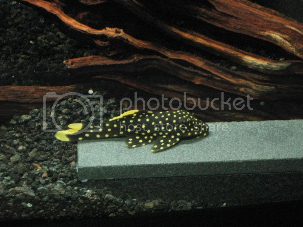 Pleco of The Month JAN 2014 POLL Pictures038