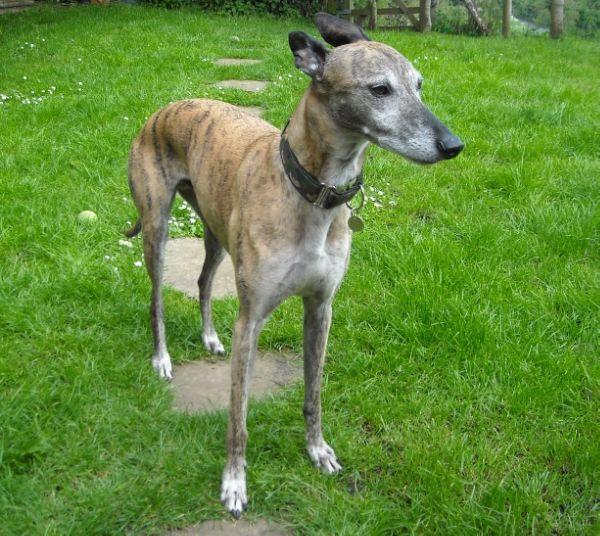 5. Best Sighthound 311b3290-85ab-46ce-b381-b6aa22bddfba_zpsb1ab4692