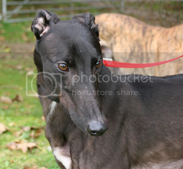 Jacko ~ Gorgeous Friendly Boy – 3yo Black Greyhound Jacko1