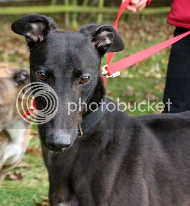 Jacko ~ Gorgeous Friendly Boy – 3yo Black Greyhound Jacko3