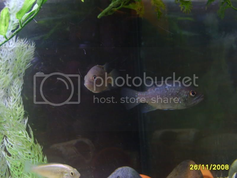 ok i will be the first,,,Nelly's Paratilapia Polleni, Fish166