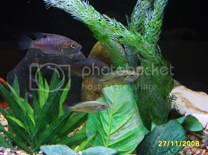 ok i will be the first,,,Nelly's Paratilapia Polleni, Fish266