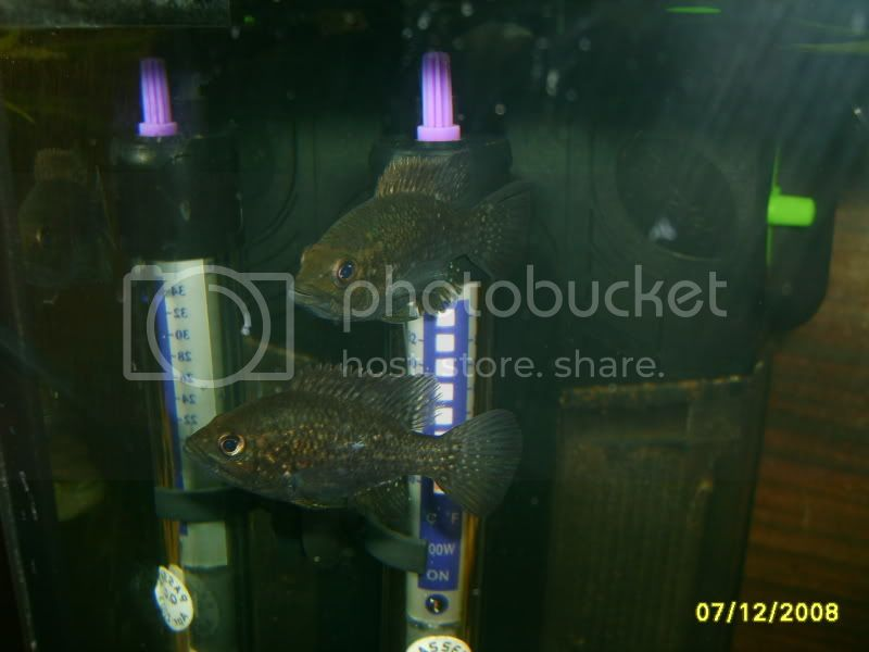 ok i will be the first,,,Nelly's Paratilapia Polleni, Fishesssssss115