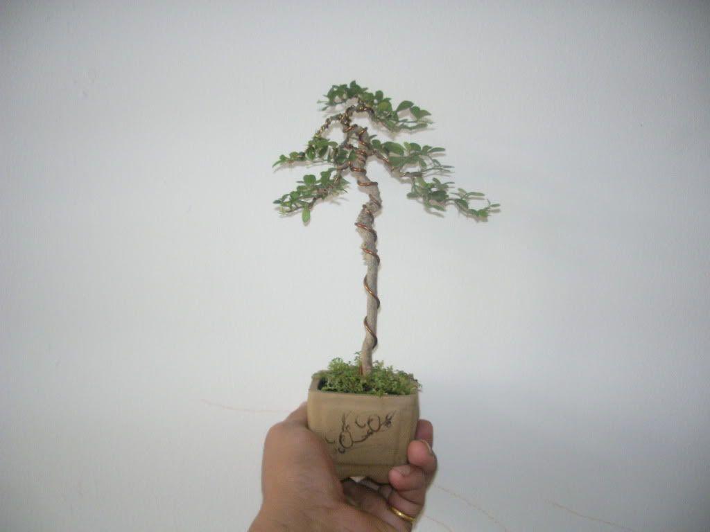 Mini bonsai at corporation of Kihieulam IMGP5748-1