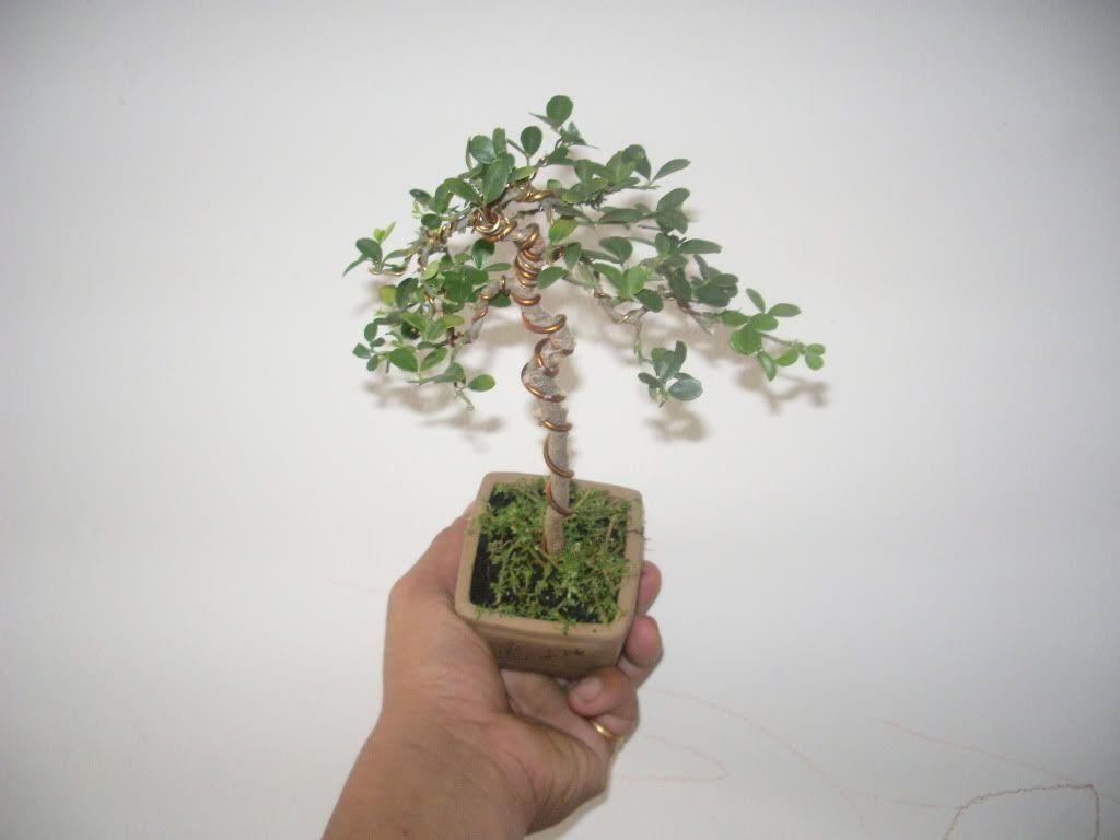Mini bonsai at corporation of Kihieulam IMGP5749