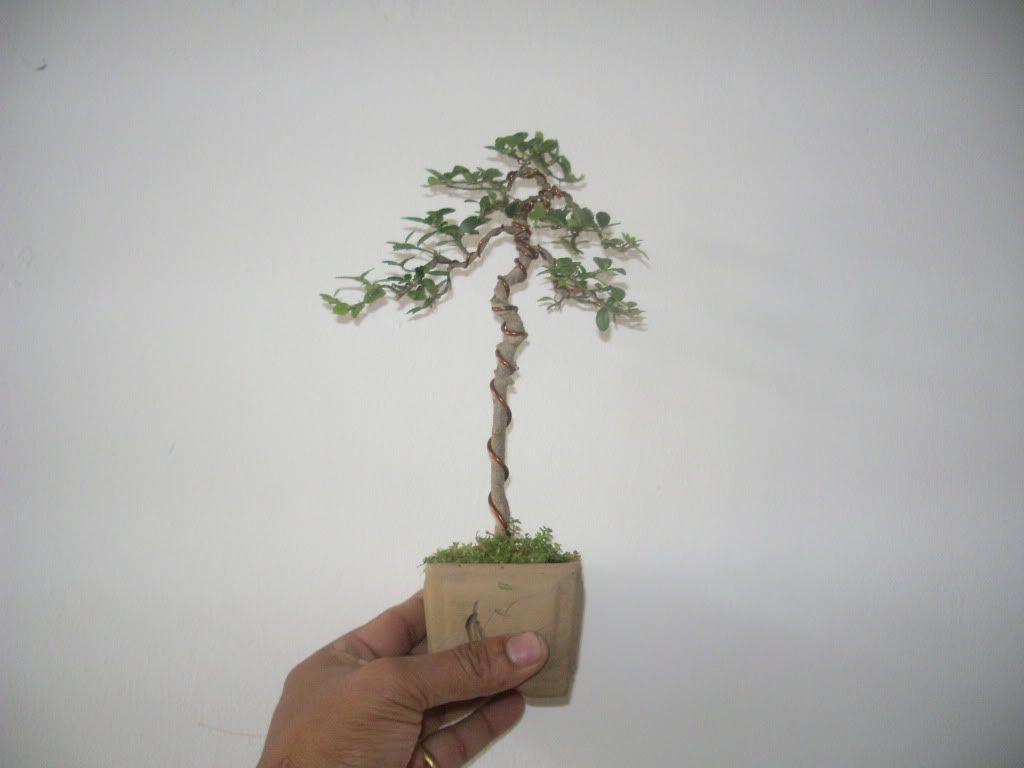 Mini bonsai at corporation of Kihieulam IMGP5750