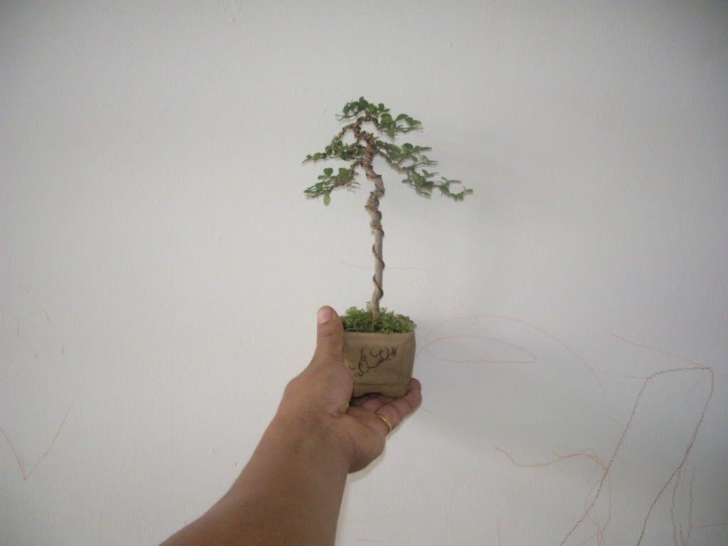 Mini bonsai at corporation of Kihieulam IMGP5751