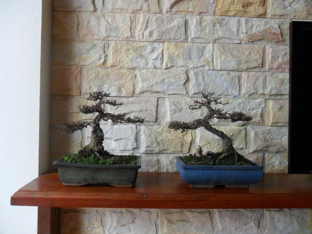 Mini bonsai at corporation of Kihieulam SAM_0330-1