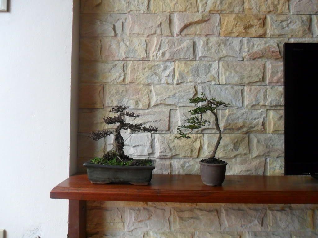 Mini bonsai at corporation of Kihieulam SAM_0331-2