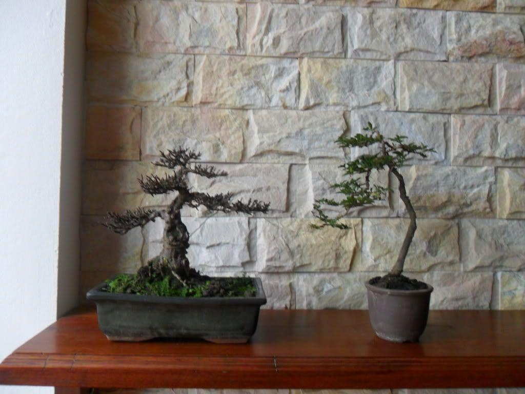Mini bonsai at corporation of Kihieulam SAM_0332-1