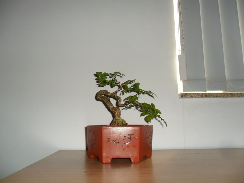 Mini bonsai at corporation of Kihieulam SAM_0416-1