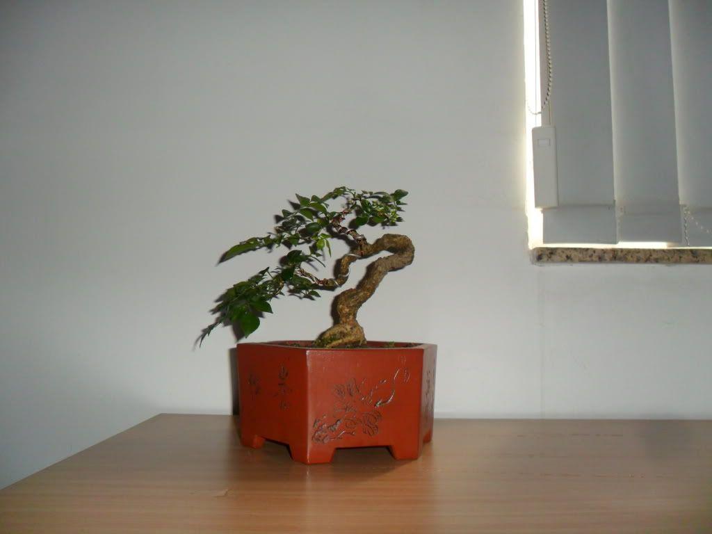 Mini bonsai at corporation of Kihieulam SAM_0418-1