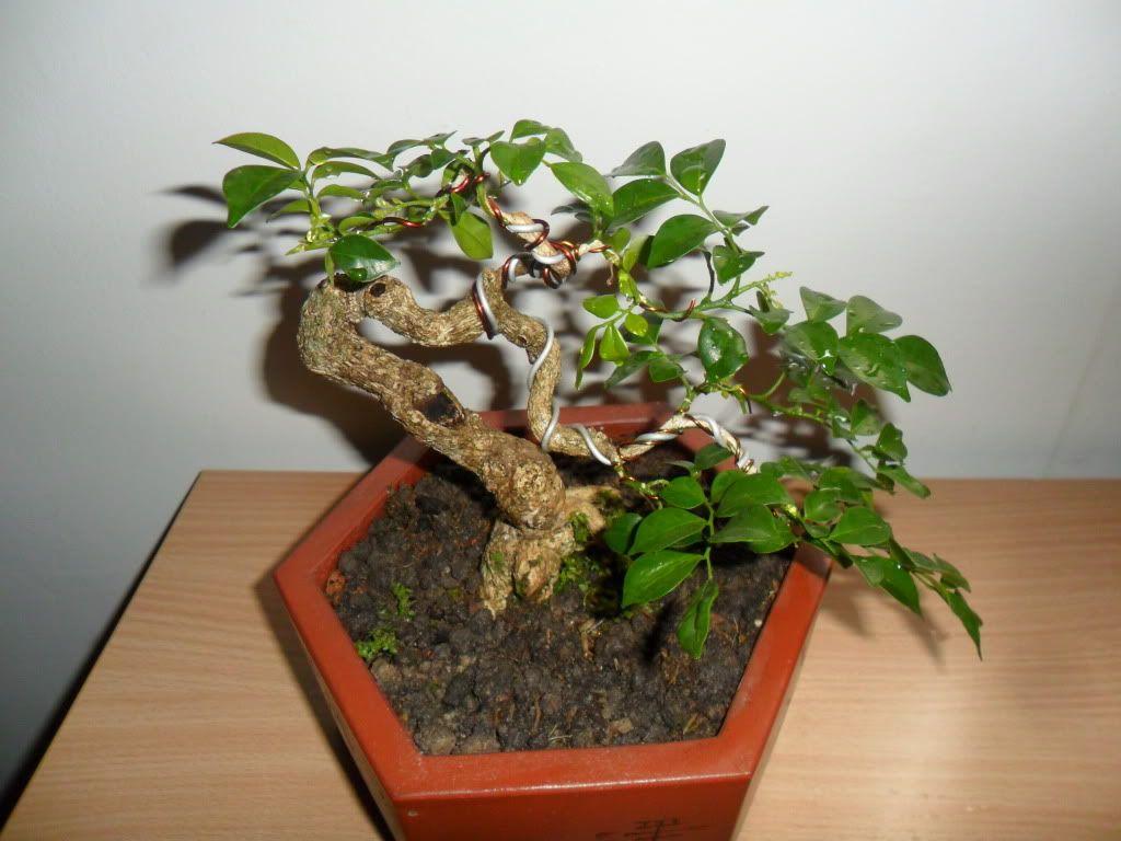Mini bonsai at corporation of Kihieulam SAM_0419