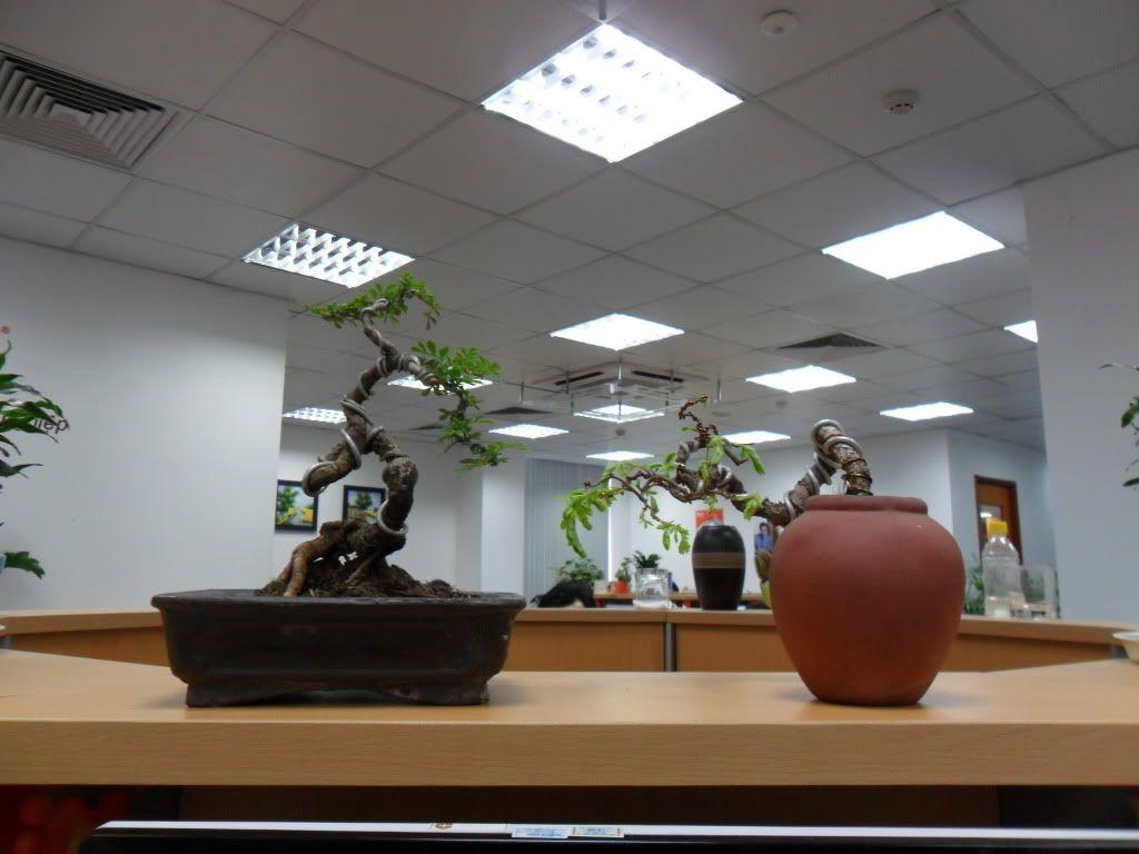 Mini bonsai at corporation of Kihieulam SAM_0782-2