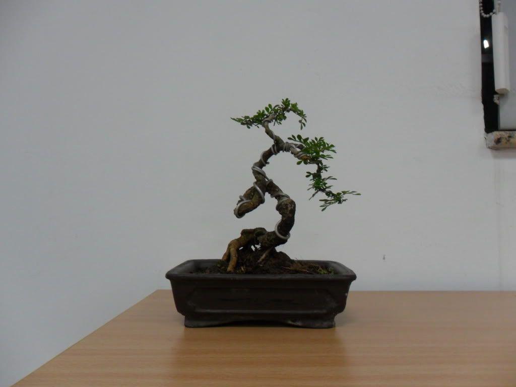 Mini bonsai at corporation of Kihieulam SAM_0783-1