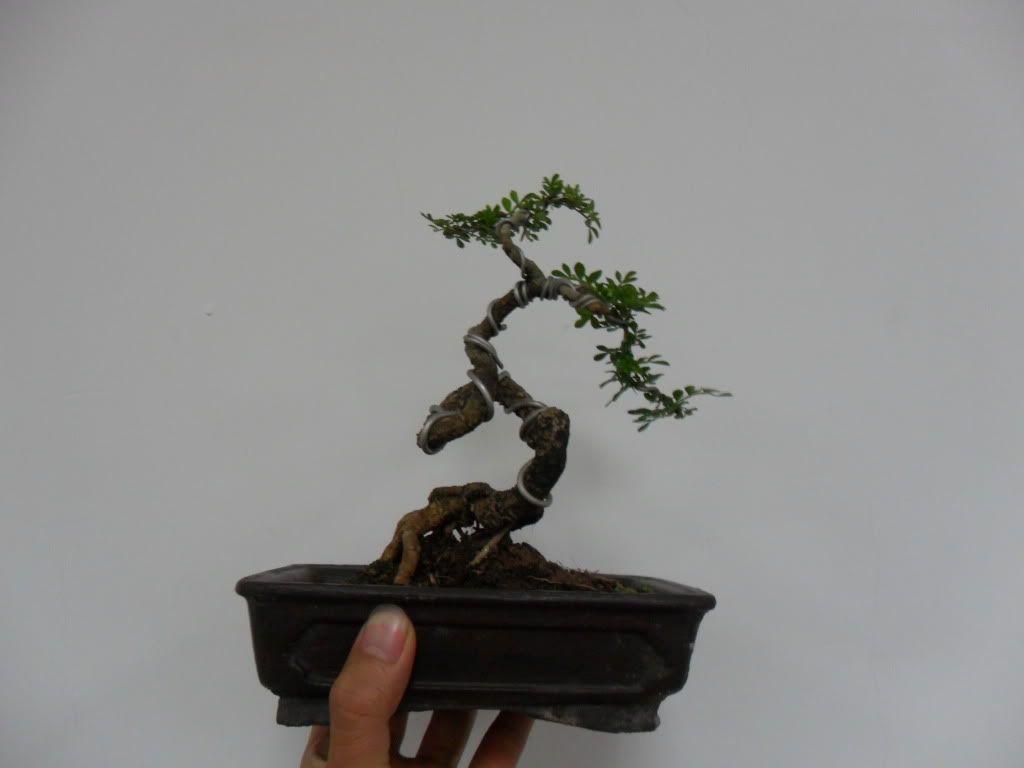 Mini bonsai at corporation of Kihieulam SAM_0785