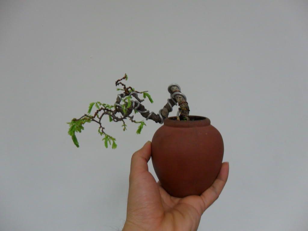 Mini bonsai at corporation of Kihieulam SAM_0786-1