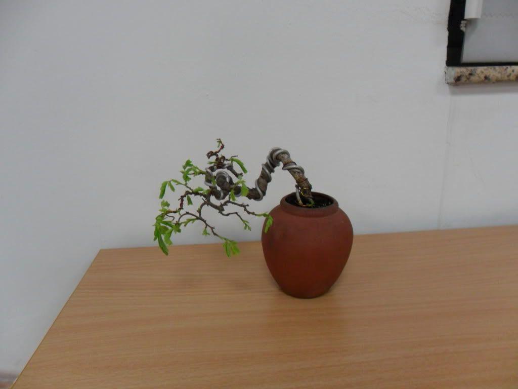 Mini bonsai at corporation of Kihieulam SAM_0790