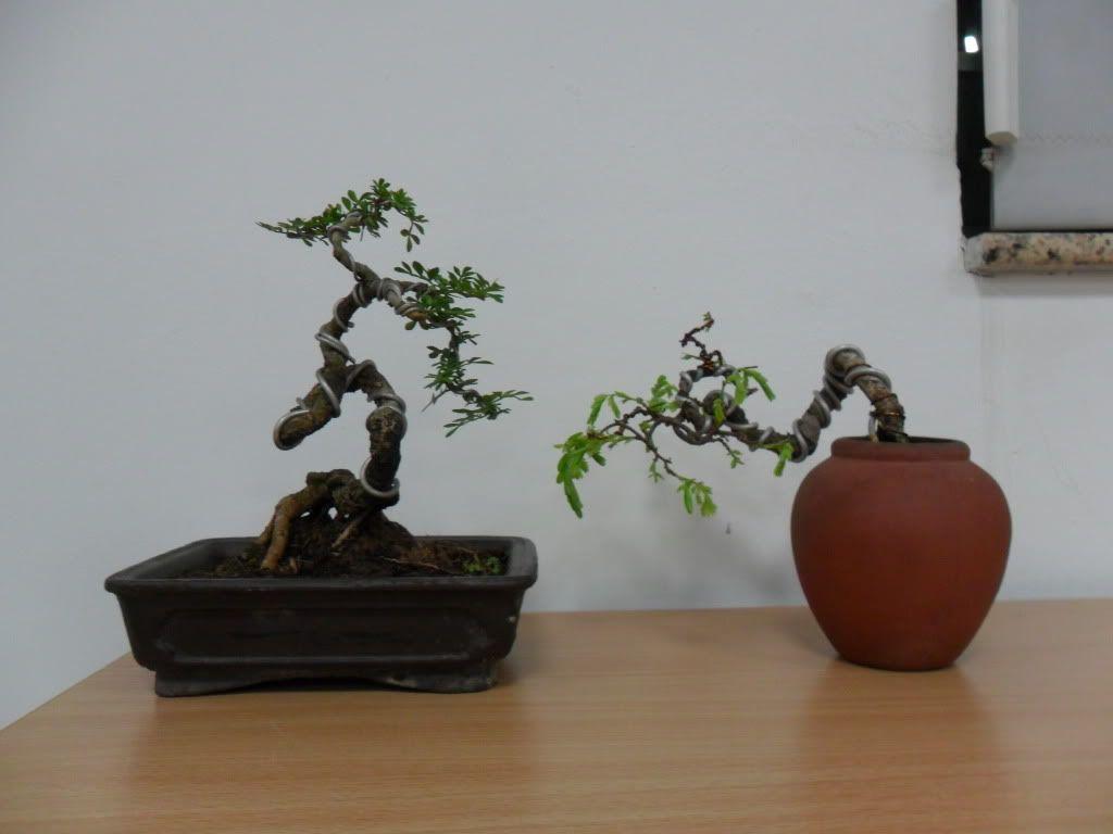 Mini bonsai at corporation of Kihieulam SAM_0793-2