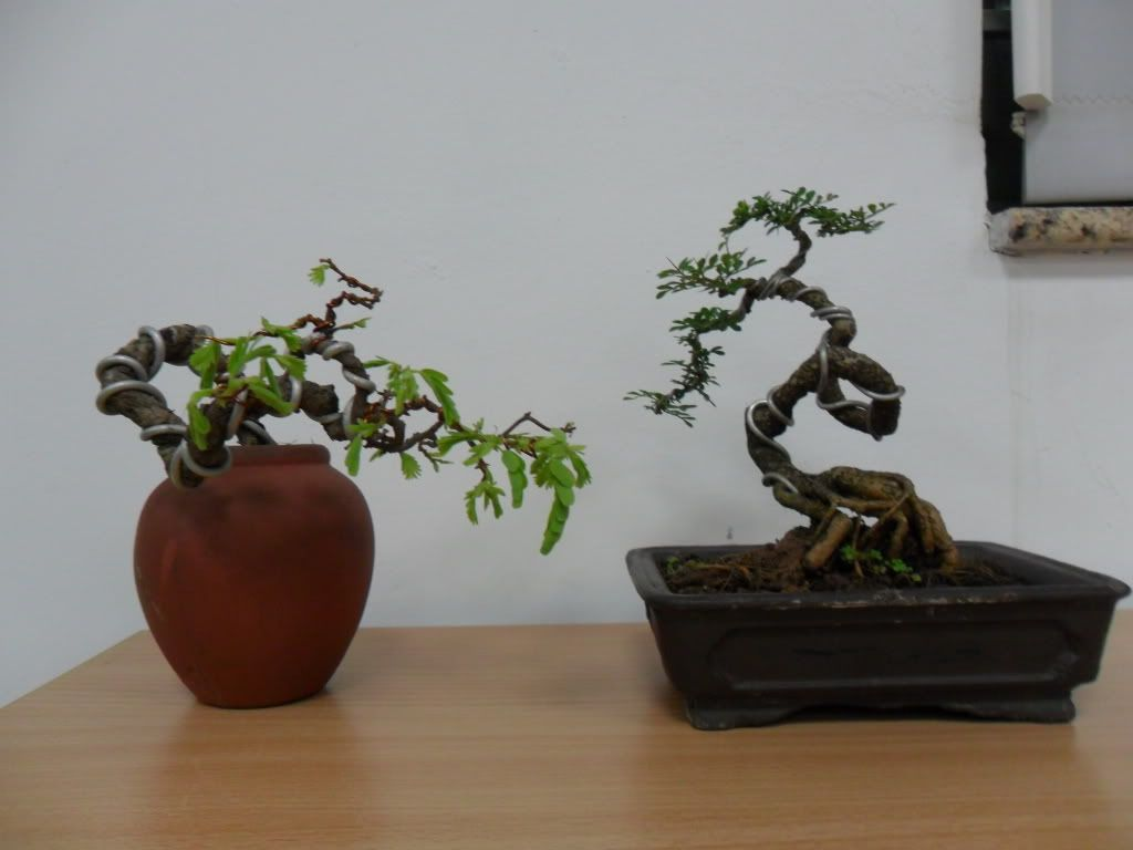 Mini bonsai at corporation of Kihieulam SAM_0795-1