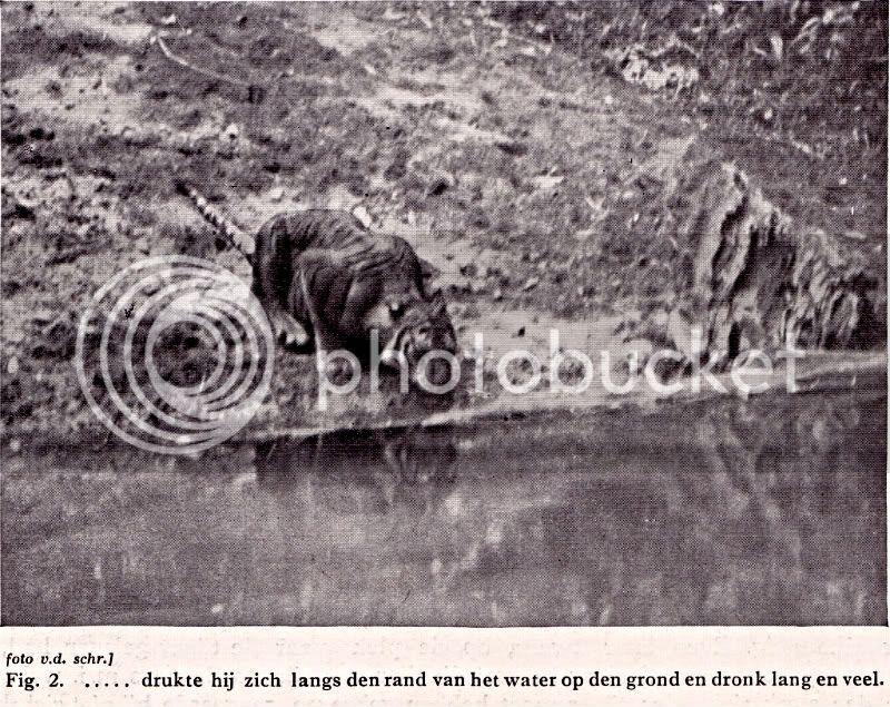 TIGRE - panthera tigris - Page 5 Hoogerwerf2