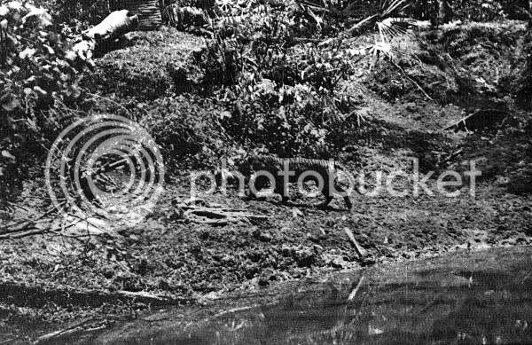TIGRE - panthera tigris - Page 5 JavaUdjungKulon1938Hoogerwerf