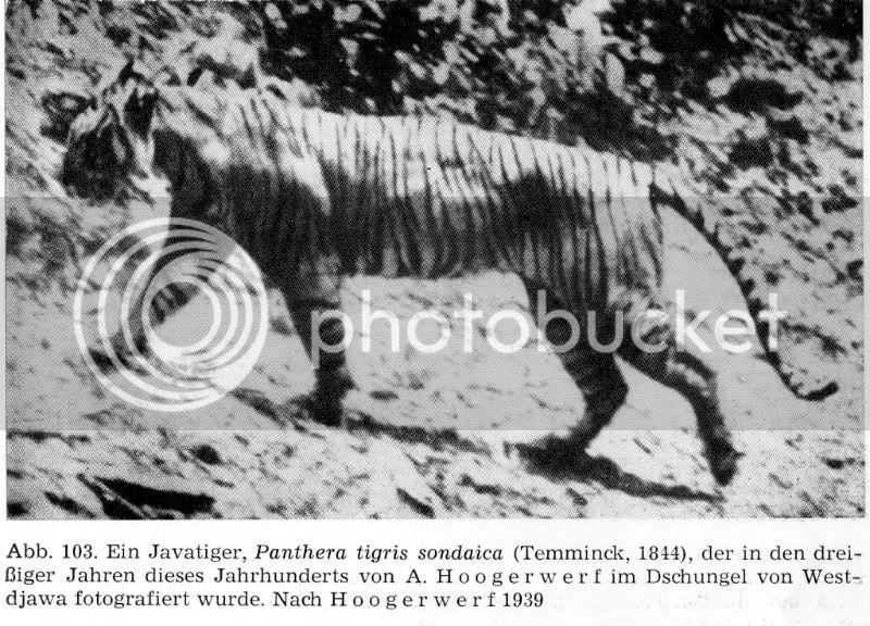 TIGRE - panthera tigris - Page 5 Sondaicaadmale-Hoogerwerf-1939