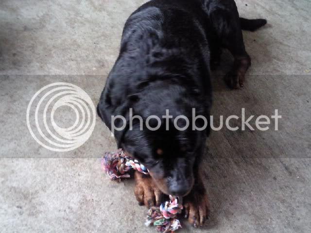 5yr rottie boy Lexi1016