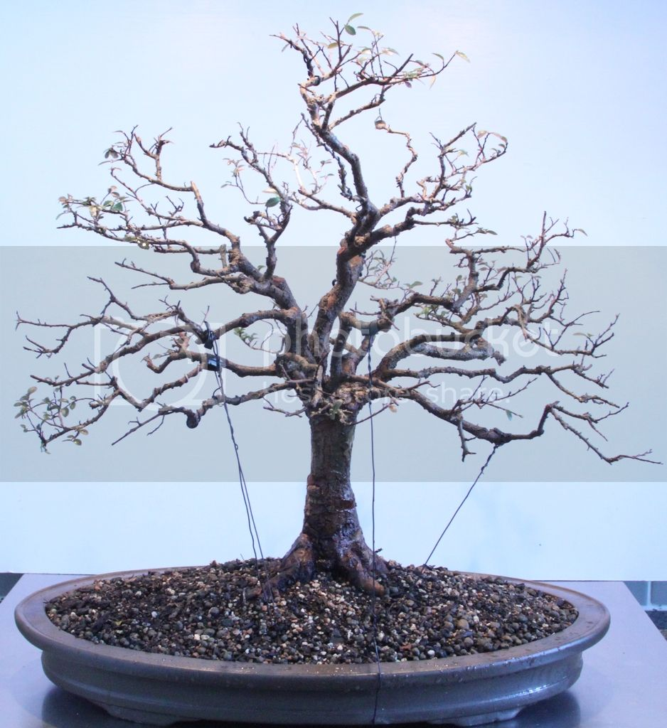 Picture 5 I Did Some Pruning And Wiring On My Chinese Elm Pre Bonsai Trees Today In Its New Pot Guide Wire Place To Position Lower Branching A Bit Of Here There