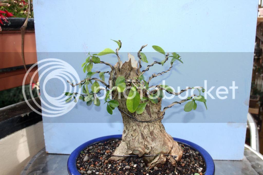 Oak style, Privet IMG_3862