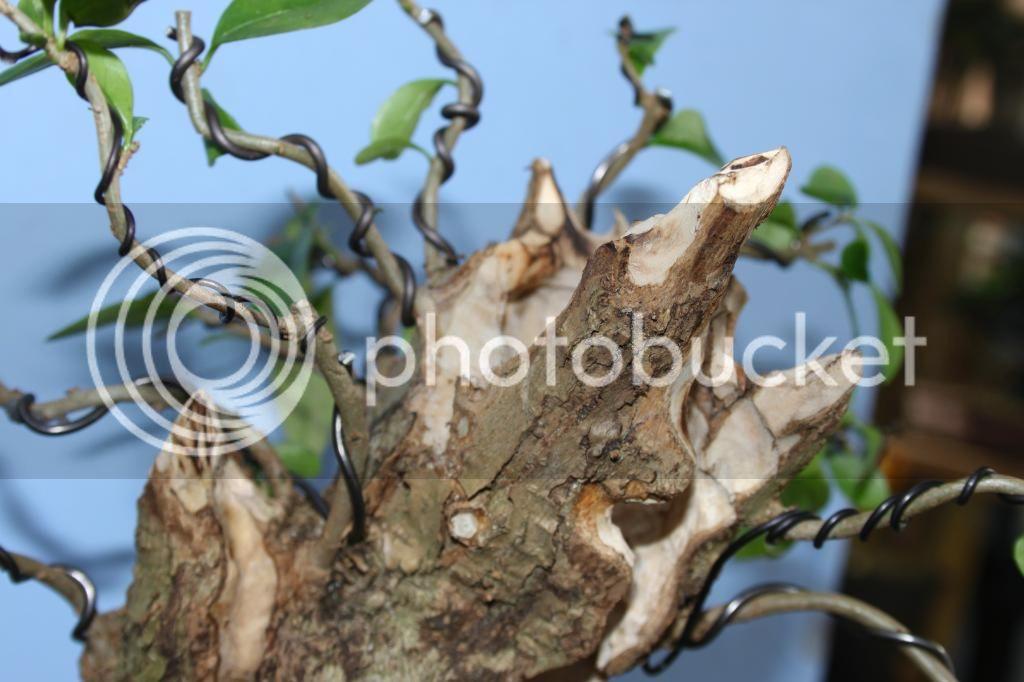 Oak style, Privet IMG_3873