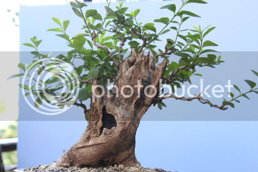 Oak style, Privet IMG_6699