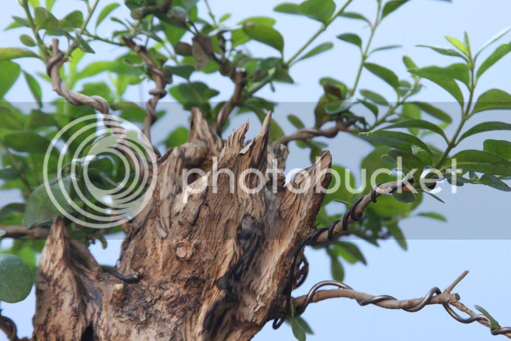 Oak style, Privet IMG_6701