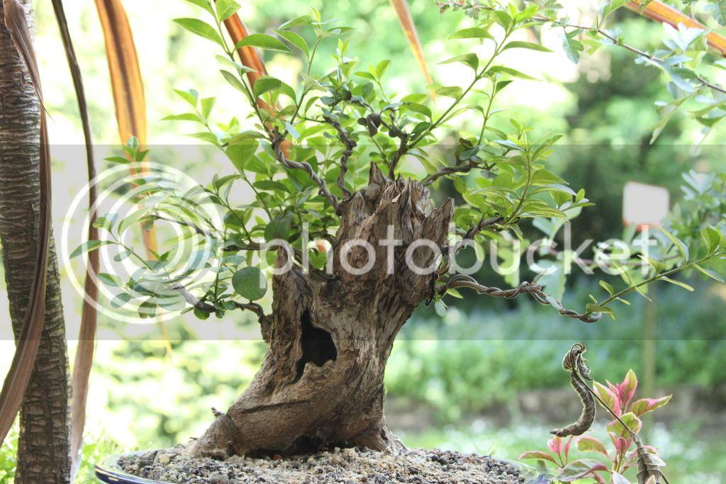 Oak style, Privet IMG_6712