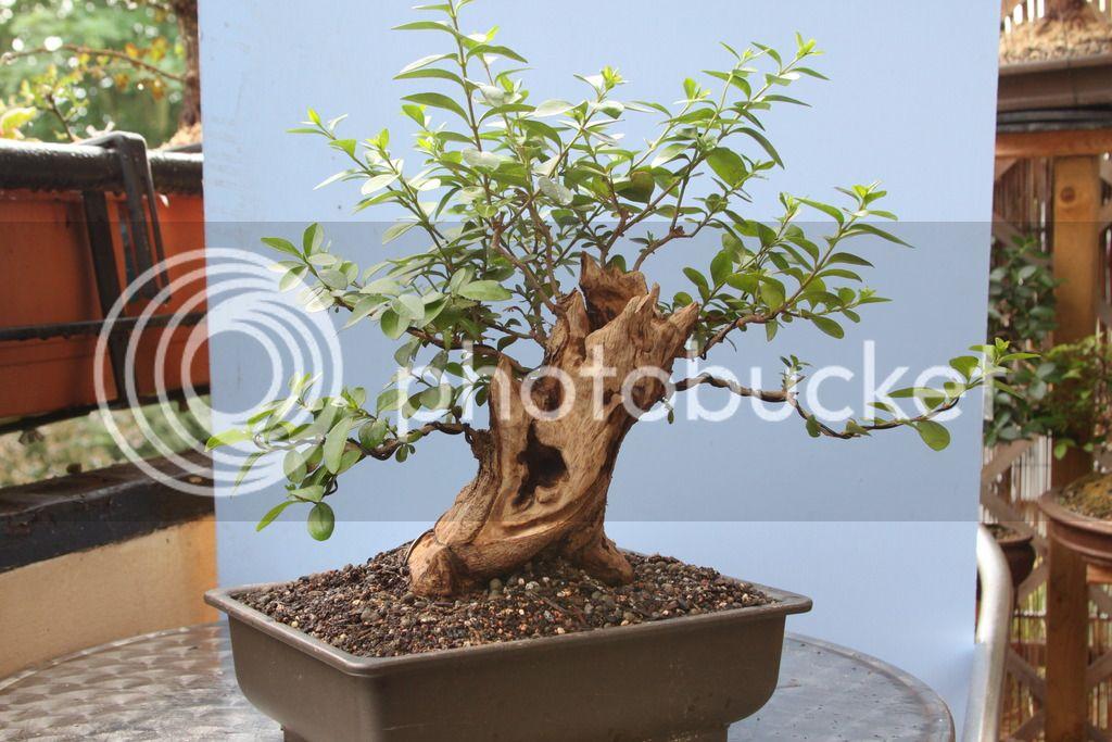 Oak style, Privet IMG_7009