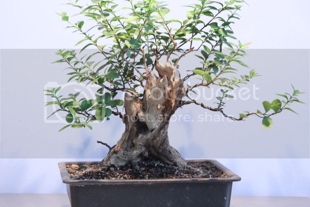 Oak style, Privet IMG_7029