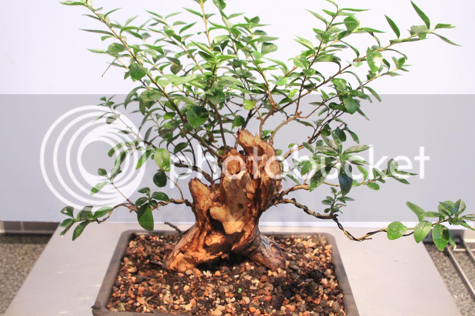Oak style, Privet IMG_7490