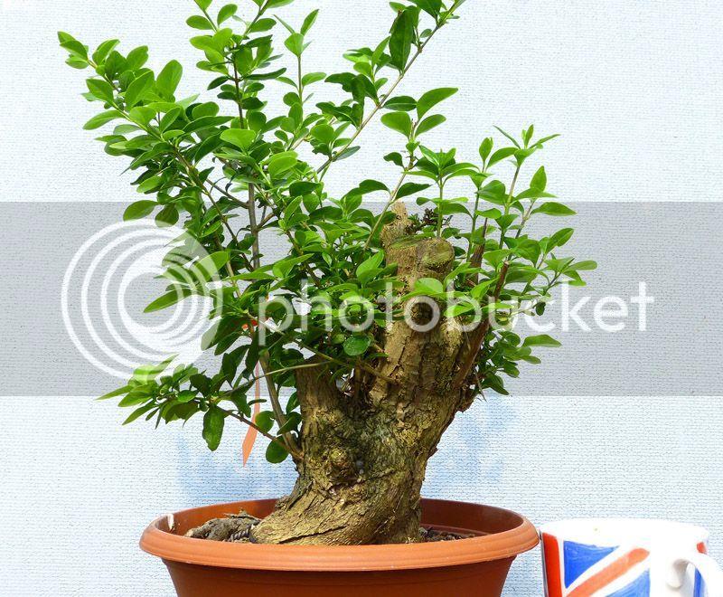 Oak style, Privet Rm727c