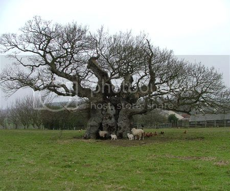 Oak style, Privet Trees-bowthorpe-oak-countrytravel-allaboutyou