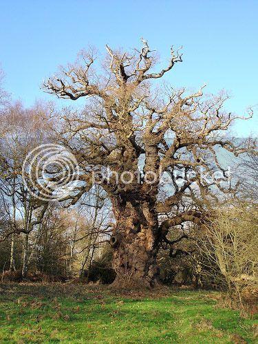 Portuguese Oak (Quercus Faginea) Bild_112