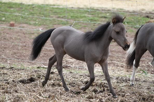 Mini Horse weanling filly Canonpics631