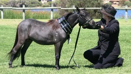 Stunning Small Horse colt for sale. Spud
